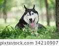 Portrait of Siberian Husky 34210907