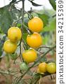 番茄 西红柿 水果番茄 34215369