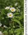 봄망초, 꽃, 플라워 34224479