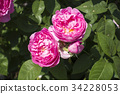 pink, rose, mary rose 34228053