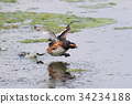 Black necked grebe in run 34234188