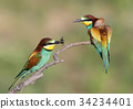 Bee eaters ritual feeding 34234401