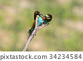 Bee eaters ritual feeding 34234584