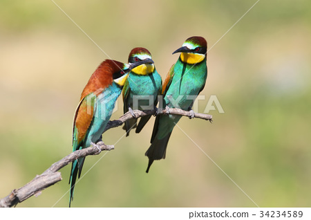 Three european bee eater sits on branch 34234589