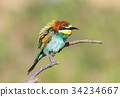 European bee eater close up portrait 34234667