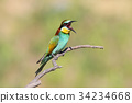 European bee eater with open beak 34234668