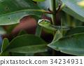 Asian vine snake 34234931