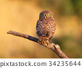 Young little owl watch me 34235644
