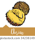 Vector illustration, Musang king Durian 34236149