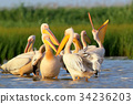 Small flock of white pelicans  34236203
