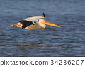White pelican in flight with soft morning light. 34236207