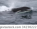 범고래 34236222