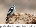 Middle spotted woodpecker closeup portrait 34237412