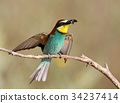 One bee eater sits on a branch. 34237414