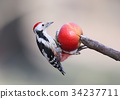 Middle spotted woodpecker on feeder 34237711