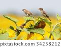 Birds on the sunflowers 34238212