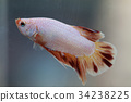 Siamese fighting fish 34238225