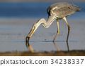 fish, heron, bird 34238337