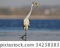 fish, heron, bird 34238383