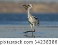 fish, heron, bird 34238386