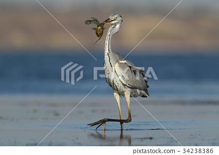 portrait of grey heron with fish in beak. 34238386