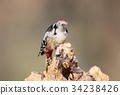 Middle spotted woodpecker closeup portrait 34238426