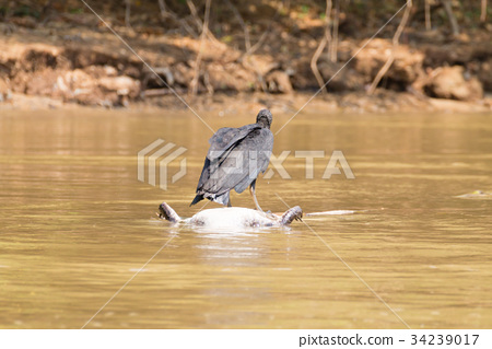 black vulture floating over a dead cayman on river 34239017