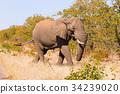 Elephant from Kruger National Park 34239020