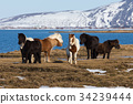 Icelandic horses on dry glass field  34239444
