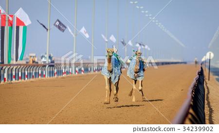 Camel racing in Dubai 34239902