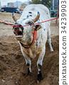 Bull fighting in Fujairah 34239903