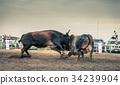 animals, bulls, cattle 34239904
