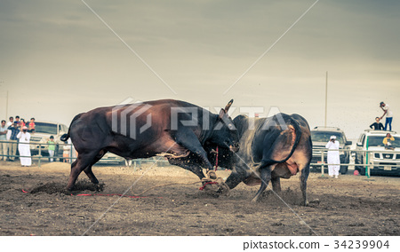 Bull fighting in Fujairah 34239904