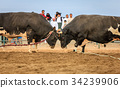 Bull fighting in Fujairah 34239906