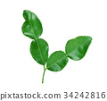 Kaffir lime leaves isolated on white background 34242816