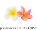 frangipani flower isolated on white background 34242850