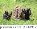 黑猩猩 動物 蟻丘 34248917