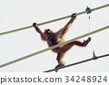 猩猩 多摩動物園 天順 34248924