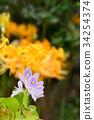 凤眼莲 花朵 花卉 34254374