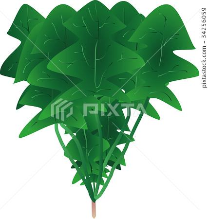 矢量 菠菜 藜科 34256059