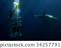 Divers in a cage with Great White shark underwater 34257791