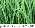 paddy, rice plant, field 34259185