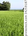 paddy, rice plant, field 34259187