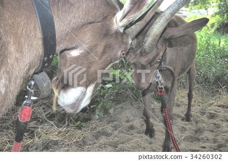 Goat goat 34260302