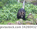 불곰, 곰, 야생 34260432