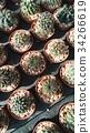 Cactus 34266619