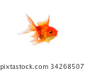 Gold fish on a white background 34268507