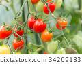 迷你蕃茄 櫻桃番茄 菜園 34269183