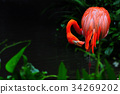 Flamingo bird in nature 34269202