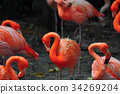 Flamingo bird in nature 34269204